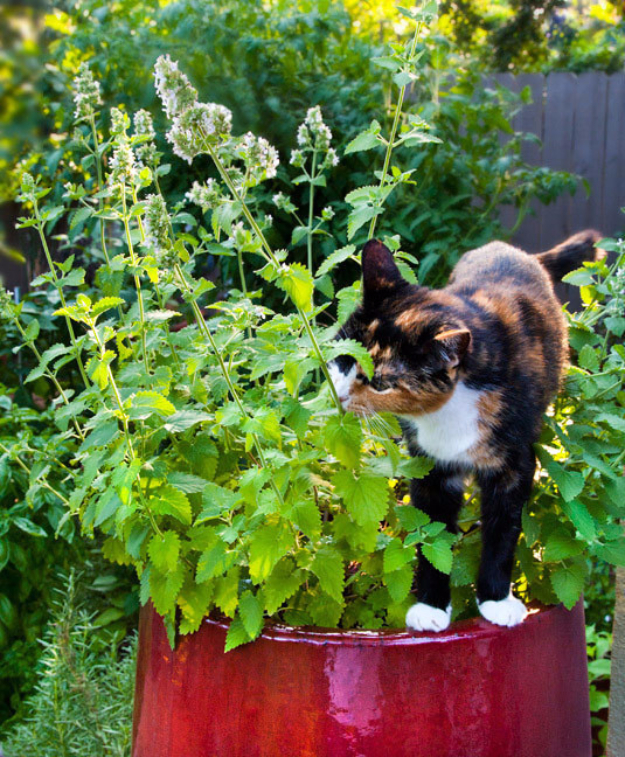 DIY Cat Hacks - Grow Your Own Catnip - Tips and Tricks Ideas for Cat Beds and Toys, Homemade Remedies for Fleas and Scratching - Do It Yourself Cat Treat Recips, Food and Gear for Your Pet - Cool Gifts for Cats http://diyjoy.com/diy-cat-hacks