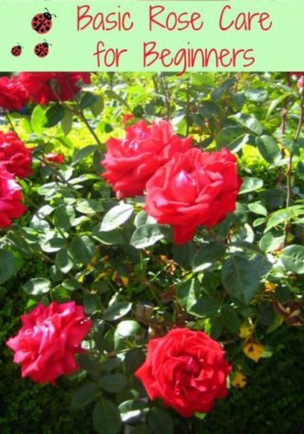 DIY Spring Gardening Projects - Basic Rose Care - Cool and Easy Planting Tips for Spring Garden - Step by Step Tutorials for Growing Seeds, Plants, Vegetables and Flowers in You Yard - DIY Project Ideas for Women and Men - Creative and Quick Backyard Ideas For Summer