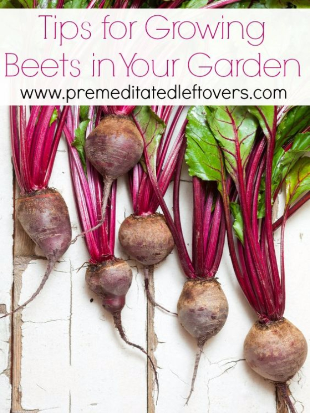 DIY Spring Gardening Projects - Growing Beets In Your Garden - Cool and Easy Planting Tips for Spring Garden - Step by Step Tutorials for Growing Seeds, Plants, Vegetables and Flowers in You Yard - DIY Project Ideas for Women and Men - Creative and Quick Backyard Ideas For Summer