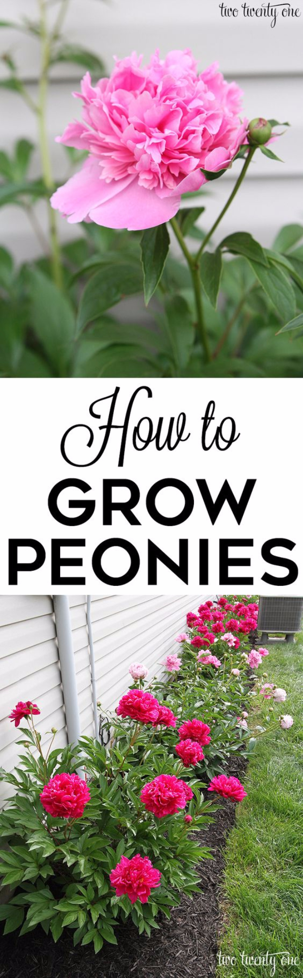 DIY Spring Gardening Projects - Growing Peonies For Spring - Cool and Easy Planting Tips for Spring Garden - Step by Step Tutorials for Growing Seeds, Plants, Vegetables and Flowers in You Yard - DIY Project Ideas for Women and Men - Creative and Quick Backyard Ideas For Summer http://diyjoy.com/diy-spring-gardening