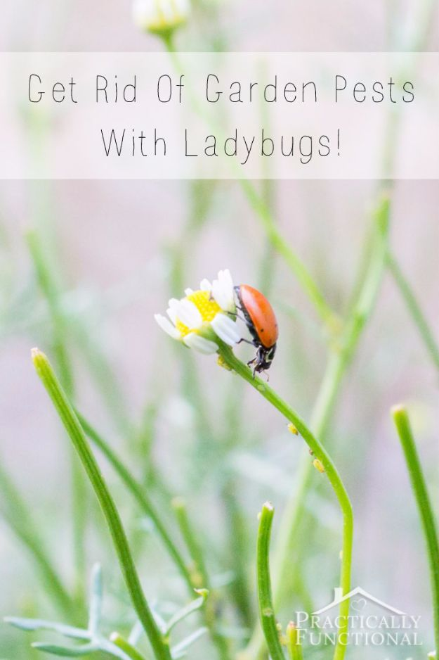 Best Ways to Get Rid of Bugs - Get Rid Of Garden Pests With Ladybugs - Easy Tips and Tricks to Get Rid of Roaches, Ants, Fleas and Flies - DIY Ways To Exterminate and Elimiate Pests from Your Home and Yard, Picnics and Outdoor Barbecue http://diyjoy.com/ways-to-get-rid-of-bugs