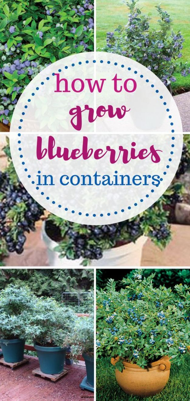 Container Gardening Ideas - Grow Blueberries In Containers - Easy Garden Projects for Containers and Growing Plants in Small Spaces - DIY Potting Tips and Planter Boxes for Vegetables, Herbs and Flowers - Simple Ideas for Beginners -Shade, Full Sun, Pation and Yard Landscape Idea tutorials http://diyjoy.com/container-gardening-ideas