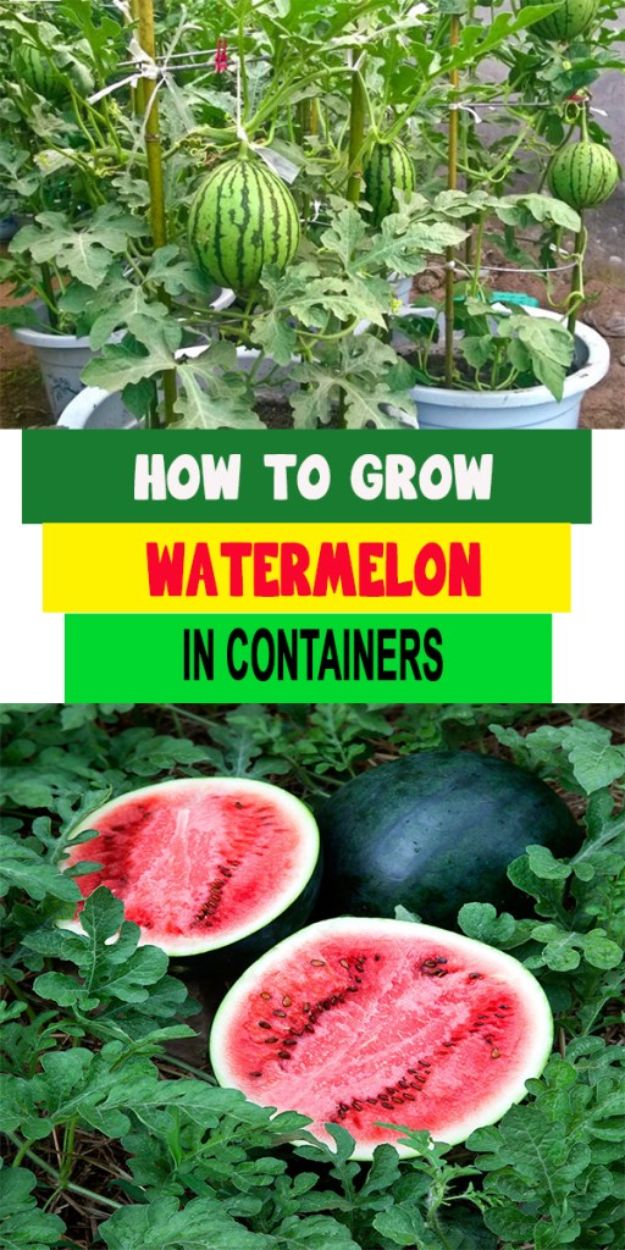 Container Gardening Ideas - Grow Watermelon in Containers - Easy Garden Projects for Containers and Growing Plants in Small Spaces - DIY Potting Tips and Planter Boxes for Vegetables, Herbs and Flowers - Simple Ideas for Beginners -Shade, Full Sun, Pation and Yard Landscape Idea tutorials http://diyjoy.com/container-gardening-ideas