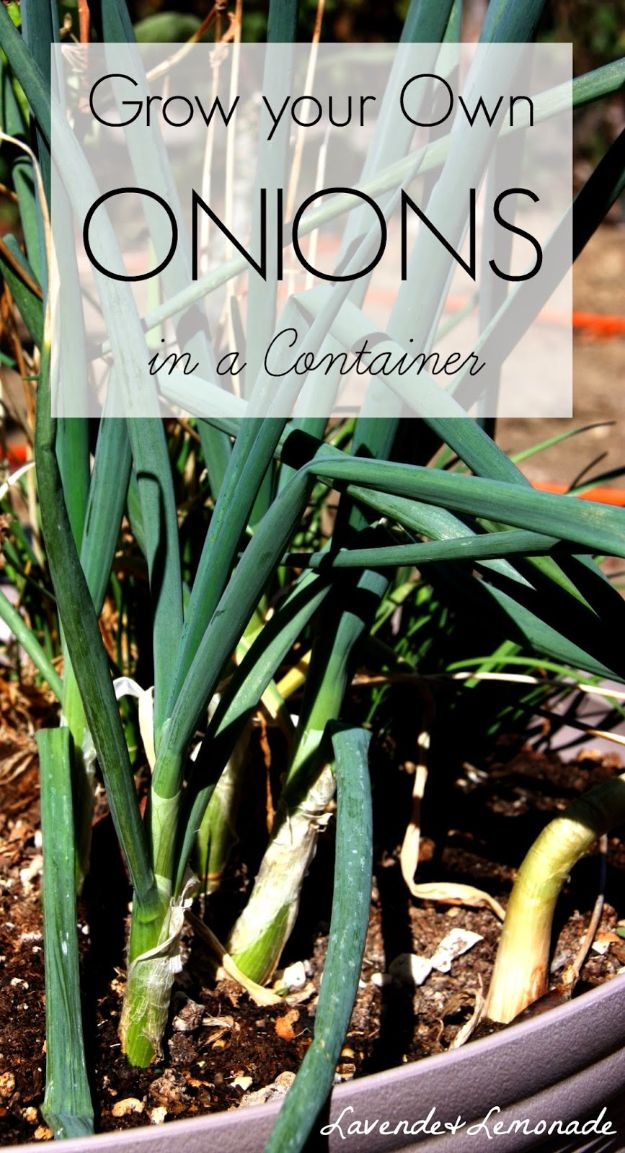 Container Gardening Ideas - Grow Your Onions In A Container - Easy Garden Projects for Containers and Growing Plants in Small Spaces - DIY Potting Tips and Planter Boxes for Vegetables, Herbs and Flowers - Simple Ideas for Beginners -Shade, Full Sun, Pation and Yard Landscape Idea tutorials http://diyjoy.com/container-gardening-ideas