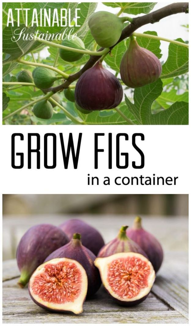 Container Gardening Ideas - Grow a Fig Tree in a Pot - Easy Garden Projects for Containers and Growing Plants in Small Spaces - DIY Potting Tips and Planter Boxes for Vegetables, Herbs and Flowers - Simple Ideas for Beginners -Shade, Full Sun, Pation and Yard Landscape Idea tutorials http://diyjoy.com/container-gardening-ideas