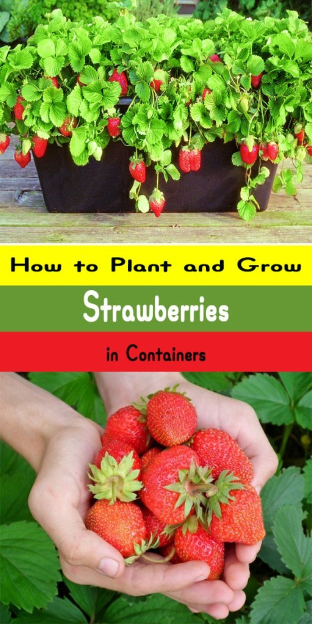 Container Gardening Ideas - Growing Strawberries in Containers - Easy Garden Projects for Containers and Growing Plants in Small Spaces - DIY Potting Tips and Planter Boxes for Vegetables, Herbs and Flowers - Simple Ideas for Beginners -Shade, Full Sun, Pation and Yard Landscape Idea tutorials http://diyjoy.com/container-gardening-ideas