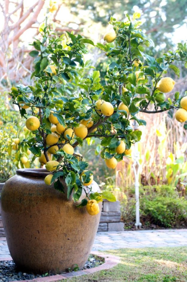 Container Gardening Ideas - Lemon Tree For Container Gardening - Easy Garden Projects for Containers and Growing Plants in Small Spaces - DIY Potting Tips and Planter Boxes for Vegetables, Herbs and Flowers - Simple Ideas for Beginners -Shade, Full Sun, Pation and Yard Landscape Idea tutorials http://diyjoy.com/container-gardening-ideas
