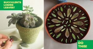 Succulents Losing Leaves? Do This Trick For A Really Cool Idea