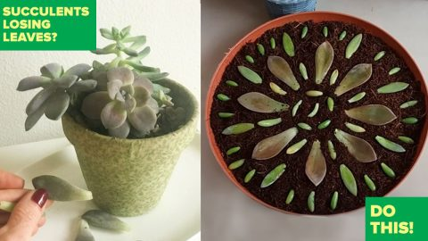 Succulents Losing Leaves? Do This Trick For A Really Cool Idea | DIY Joy Projects and Crafts Ideas