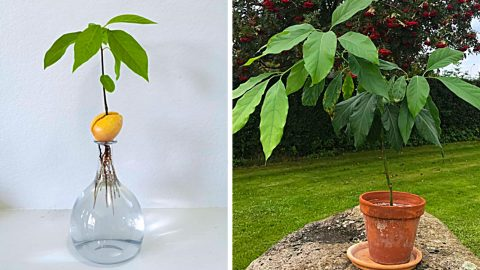 How To Grow An Avocado From A Seed   DIY Joy Projects and Crafts Ideas