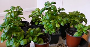 Grow An Infinite Number Of Basil Plant From One Mother Plant