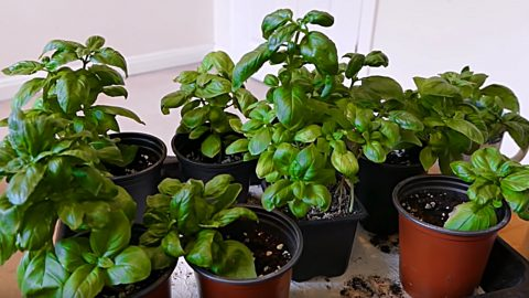 Grow An Infinite Number Of Basil Plant From One Mother Plant | DIY Joy Projects and Crafts Ideas