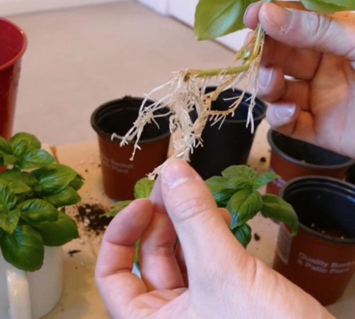 Grow an infinite number of basil plants from one mother plant