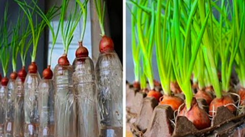 How To Grow Green Onions At Home | DIY Joy Projects and Crafts Ideas