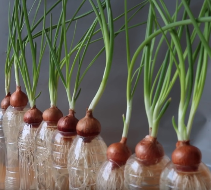How To Grow Green Onions At Home