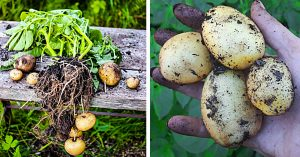 How To Grow Potatoes In A 5 Gallon Bucket