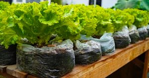How To Grow Salad In Plastic Bags