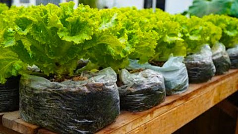 How To Grow Salad In Plastic Bags | DIY Joy Projects and Crafts Ideas
