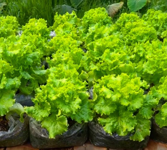 Growing tutorial for a plastic bag garden
