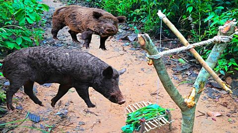 How to Make A Wild Hog Trap With A Snare   DIY Joy Projects and Crafts Ideas