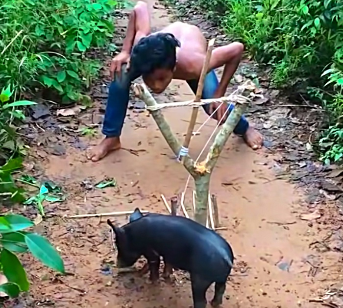 How to make a snare to catch a wild pig