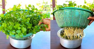 How to Grow Cilantro in Water, No Soil Required