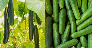 How To Grow Cucumbers With No Soil