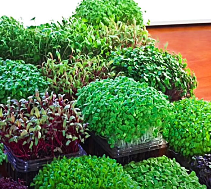 How To Grow Microgreens In An Apartment Window Sill