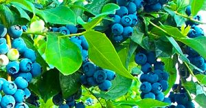 Get Free Blueberry Plants From Store-Bought Blueberries