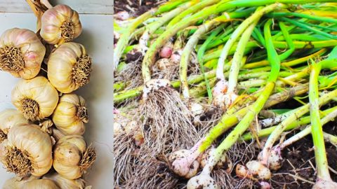 How To Plant, Grow, And Harvest Garlic At Home | DIY Joy Projects and Crafts Ideas