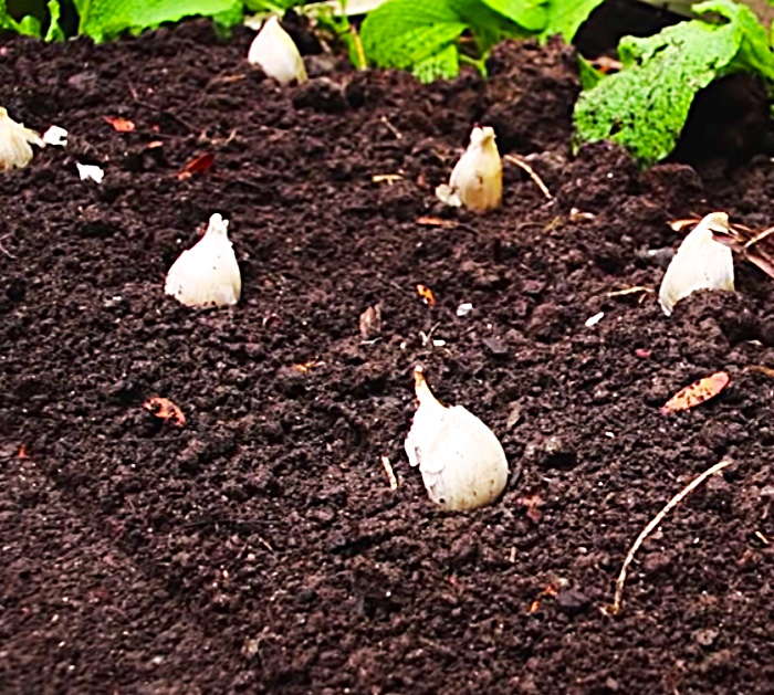 Learn To Plant Garlic- Grow Your Own Garlic - Homegrown Garlic