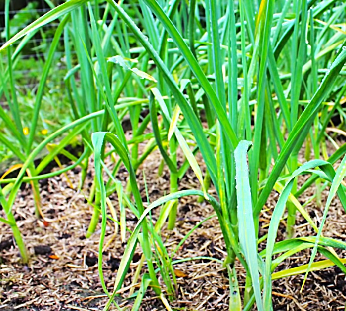 When To Harvest Garlic - Grow Your Own Garlic - Garlic Growing Made Easy