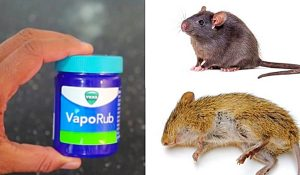 How To Get Rid Of Mice And Rats With Vick's VapoRub