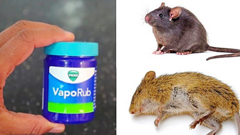 How To Get Rid Of Mice And Rats With Vick's VapoRub | DIY Joy Projects and Crafts Ideas