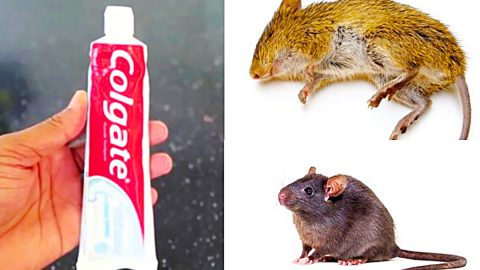 How To Kill Mice And Rats With Toothpaste | DIY Joy Projects and Crafts Ideas
