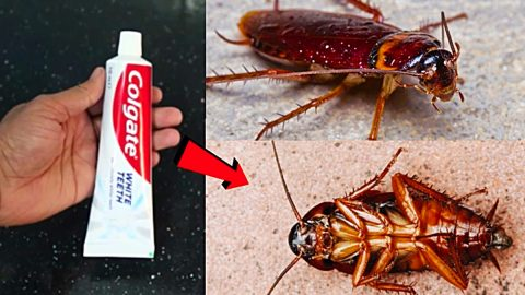 How To Kill Cockroaches With Toothpaste   DIY Joy Projects and Crafts Ideas
