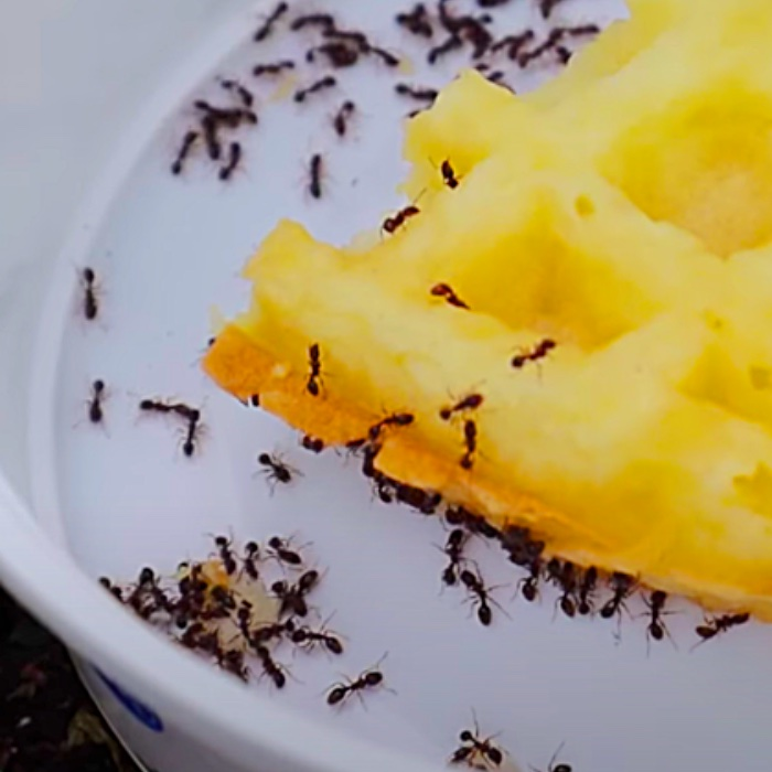Ant Deterrent - How To Make An Ant Trap - Easy DIY Ant Trap