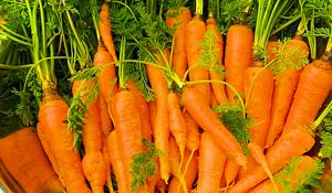 How To Grow Carrots In A Bucket