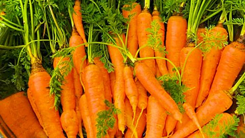 How To Grow Carrots In A Bucket | DIY Joy Projects and Crafts Ideas