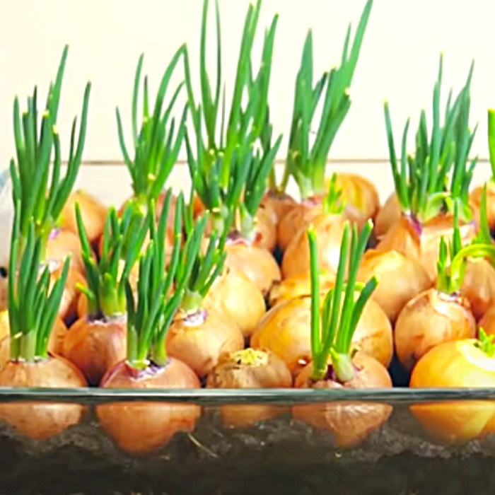 Easy Ways To Grow Food At Home - How To Grow Onions At Home - Apartment Gardening