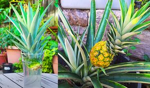 How To Regrow Pineapple In Containers