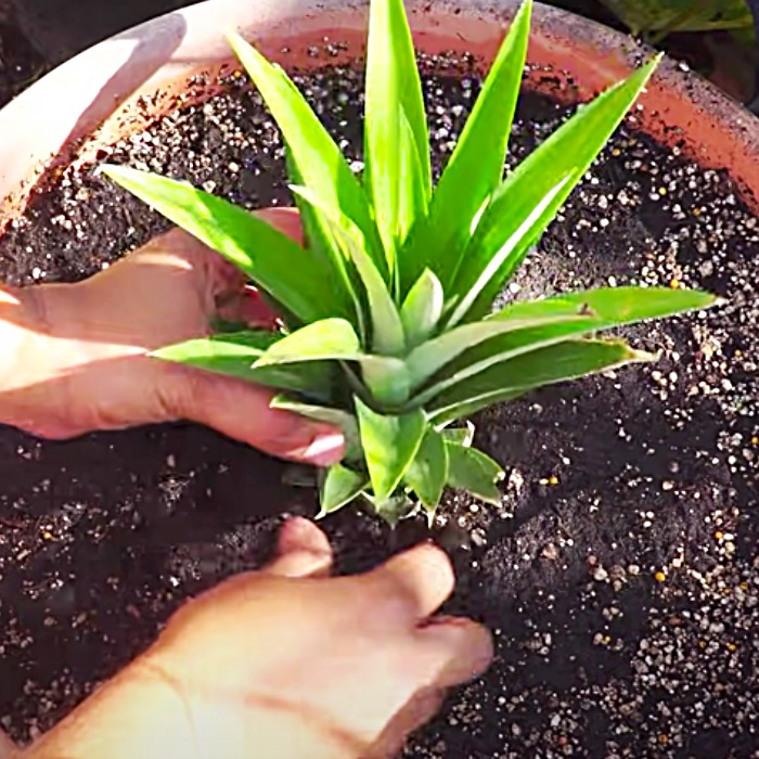 How To Grow Pineapples In Containers - Easy Way To Grow Pineapple Tops - How To Regrow A Pineapple From A Pineapple Top