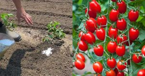 How to Grow Stronger Tomato Plants