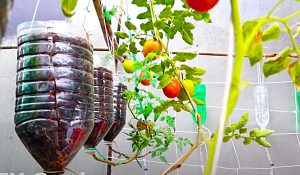How To Grow Tomatoes In Water Bottles