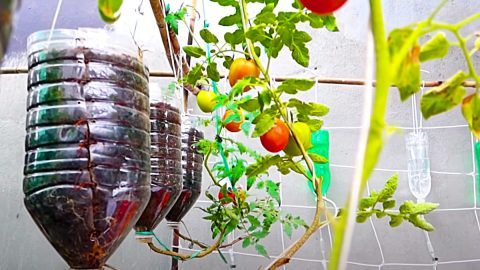 How To Grow Tomatoes In Water Bottles | DIY Joy Projects and Crafts Ideas