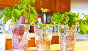 Easiest Way To Grow Sweet Potatoes From Slips