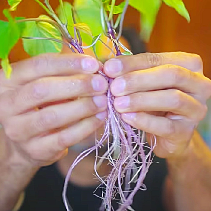 How To Grow Sweet Potatoes From Slips - Easy Potato Growing Ideas - How To Grow Your Own Food